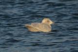 _-193.jpgKumlien's Gull Silver Lake Wilmington