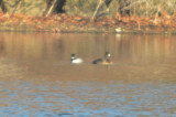 bufflehead lesser scaup silver lake wilmington