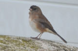 one strange looking junco wardens plum island