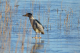 black-crowned night heron niles pond  gloucester