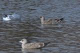 1st ye lesser black-backed gull silver lake wilmington