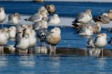 1st yr glaucous gull silver lake wilmington