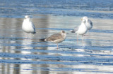 2nd year lesser black-backed gull silver lake wilmington