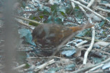 fox sparrow wilmington