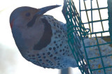 northern flicker wilmington