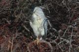 black crowned night heron niles pond