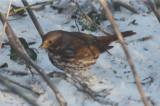 fox sparrow wilmignton