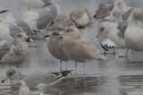 1st yr glaucous gull wilmington