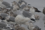 Glaucous Gull Silver Lake Wilmington