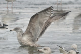 dark 3rd yr? Herring gull Silver lake Wilmington