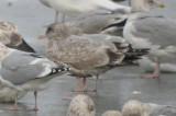 odd__gulls