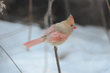 partially leucistic cardinal wilmington