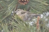 juv plumage redcrossbill salisbury