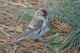 Hoary redpoll ??? large frosty, little streaking on undertail coverts Salisbury