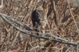 interesting presumed sharp-shined hawk niles pond gloucester transitional plumage?