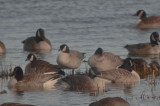 3 cackling geese joppa flats 3 in middle 1 on end head tucked