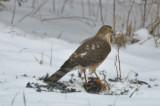 imm sharp-shined hawk on a robin salisbury