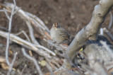 white-crowned sparrow nahant stump dump