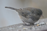 dark-eyed junco still hanging on to juv feathers? wilmington