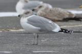 salisbury_mystery_gull