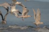 iceland gulls revere beach