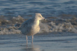 I believe this is another Thayer's Gull  very small, small bill, saw white under wing tip, not visible in photo