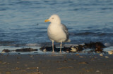 Thayer's Gull revere beach?