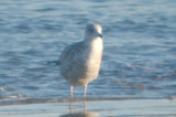 looked almost mew gull like, but possible Thayer's Revere Beach