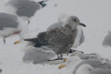 lesser black-backed gull??? silver lake wilmington same as one next from revere? could be