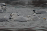 Glaucous Gull (left) Nelson's Gull / GLGUXHERG (right) silver lake wilmington