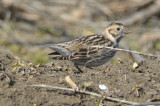 lapland longspur Spencer Peirce Little Farm