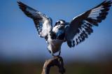 Kingfisher Pied (Ceryle rudis)