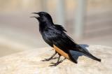 Dead Sea Tristram's Starling