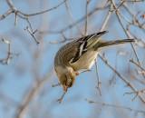 Acrobatic chaffinch