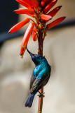 Twisted neck sunbird...