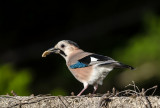Jay (Garrulus glandarius) having breakfast