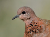 Laughing Dove portrait