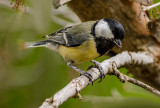 Yargazi (Parus major)