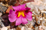Monkeyflower.jpg