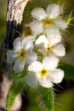Narrow-Leaved Popcorn Flower 3-14.jpg