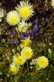 Notch-leaf Phacelia and Desert Dandelion 3-14.jpg