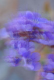 Windy Blue Phacelia 3-14.jpg