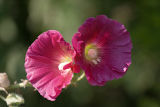 Hollyhock Duo 2