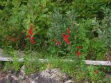 Cardinal Flowers at Manning