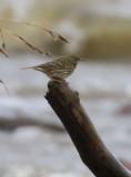 Rock Pipit  Skärpiplärka  (Anthus petrosus)