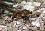 Proctacanthus Robber Fly species