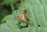 Chrysopilus quadratus; Snipe Fly species; female