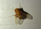 Ormia Tachinid Fly species