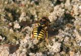 Anthidium manicatum; European Wool Carder Bee; exotic