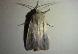10447 - Leucania commoides; Wainscot species